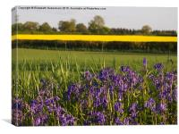 Bluebells and Yellow fields in May, Canvas Print