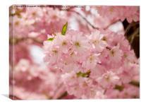 Pink Prunus Blossom, Canvas Print