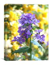 Purple Honesty and yellow Kerria Japonica, Canvas Print