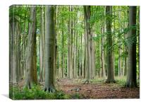 Mature Beeches at Ashridge, Canvas Print