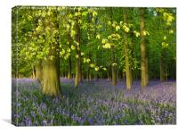 Bluebell Time in Hertfordshire, Canvas Print