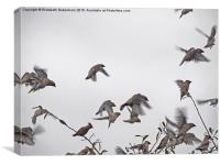 Waxwing Flock on the Move, Canvas Print