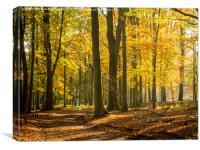 Autumn Beeches, Canvas Print