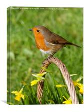 Robin on basket of daffodils, Canvas Print