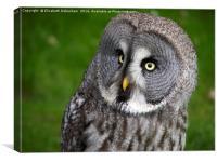 Glancing Alaskan Owl, Canvas Print