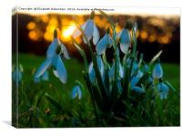 Snowdrop Lanterns at Sunset, Canvas Print