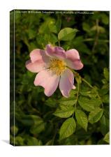 Beautiful Wild Rose, Canvas Print