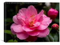 "Pink Camellia, ""Donation""., Canvas Print"