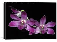 Purple Dendrobium Orchid on Black, Canvas Print