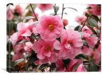 Beautiful Pink Camellia in Full Bloom, Canvas Print