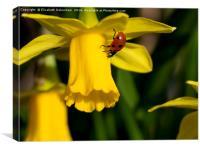"7 spot Ladybird on Daffodil ""Tete a tete""., Canvas Print"