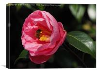 Honey Bee on Camellia, Canvas Print
