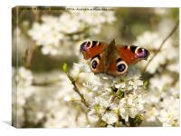Blackthorn Blossom with Peacock Butterfly, Canvas Print