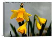 Just Daffodils, Canvas Print