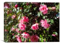 Camellia Shower, Canvas Print