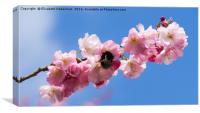 Bumble Bee in Spring Prunus Blossom, Canvas Print