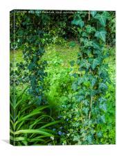 Trailing Ivy , Canvas Print