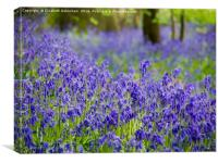 Just Bluebells, Canvas Print