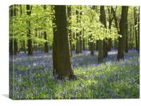 Bluebells With Shimmering Beech Leaves, Canvas Print