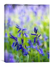 Delicate Bluebell Cluster in Sunlight, Canvas Print