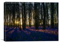 Evening in Ashridge Bluebells, Canvas Print