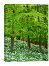 Woodland full of Wild Garlic, Canvas Print