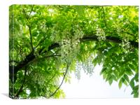June canopy of wisteria sinensis 'Alba' at Chenies, Canvas Print