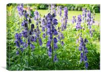 Backlit Monkshood flowers at Chenies, Canvas Print