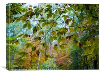Beech leaf curtain in autumn., Canvas Print