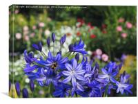 Vibrant Blue Agapanthus with Bumble Bee, Canvas Print