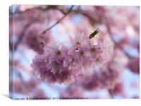 Pretty Pastel Pink Prunus Blossom., Canvas Print