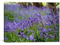 Swathe of fresh Bluebells, Canvas Print