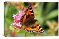 Small Tortoiseshell butterfly on pink valerian., Canvas Print