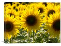 Sunflowers with Honey Bee, Canvas Print