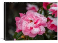 """Pink Camellia, """"Donation"""",  decorated with snow., Canvas Print"""