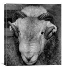 Herdwick Sheep from Cumbria, Canvas Print