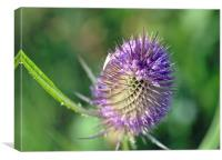 Purple Thistle, Canvas Print