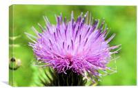 Thistle perfection, Canvas Print