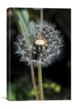 Proud Dandelion, Canvas Print