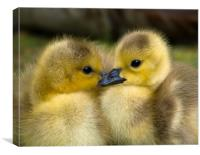 Goslings, Canvas Print