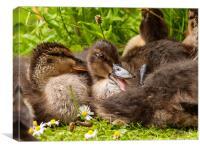 Ducklings, Canvas Print