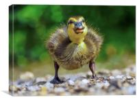 Duckling , Canvas Print