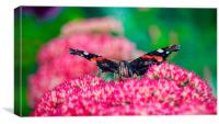 Red Admiral Butterfly    , Canvas Print