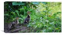 Ducklings , Canvas Print
