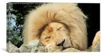 Sleepy White Lion, Canvas Print