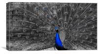 Peacock, Canvas Print