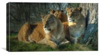 Pride Of Lionesses, Canvas Print