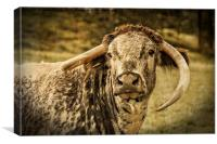 English Longhorn Cattle, Canvas Print
