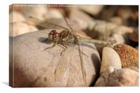 Sunbathing Female Common Darter, Canvas Print