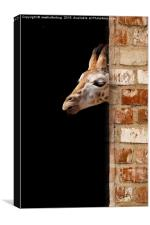 Baby Giraffe, Canvas Print